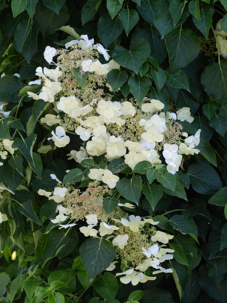 Hydrangea anomala japanese climbing hydrangea world of - Hydrangea petiolaris ...
