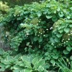 Hydrangea anomala - Japanese Climbing Hydrangea