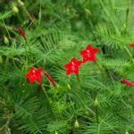 Ipomoea quamoclit - Cypress Vine