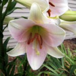 Lilium 'Pink Heaven' - Oriental Lily