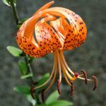Lilium lancifolium - Tiger Lily