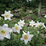 Lilium longiflorum - Easter Lily