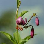 Lilium martagon - Turk's Cap Lily