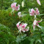 Lilium speciosum - Japanese Lily