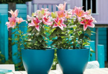 Planting Lilies in Containers