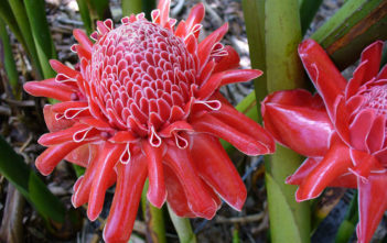 Plant Torch Ginger Seeds