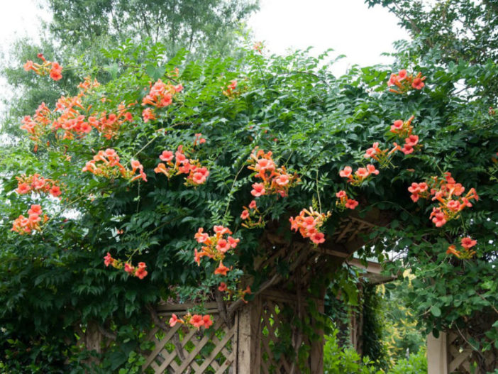 How To Grow And Care For Trumpet Vine World Of Flowering