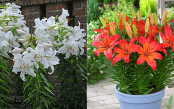 Asiatic and Oriental Lilies