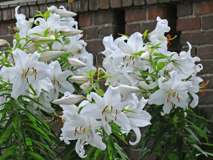Asiatic and Oriental Lilies (Lilium 'Casa Blanca')