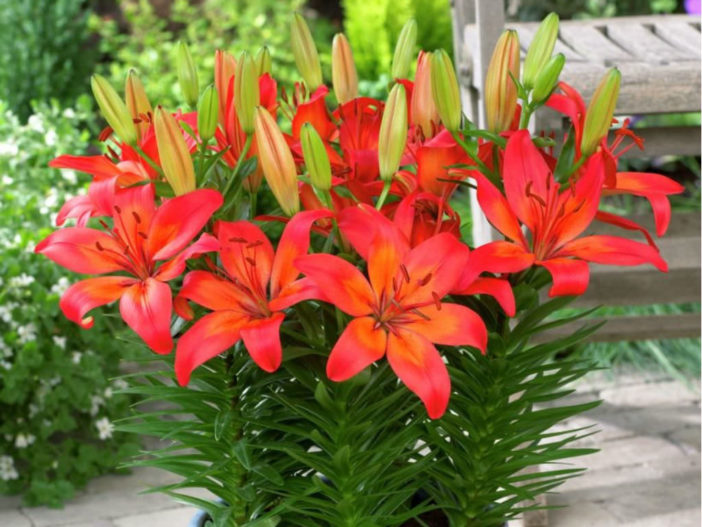 Asiatic and Oriental Lilies (Lilium 'Matrix')