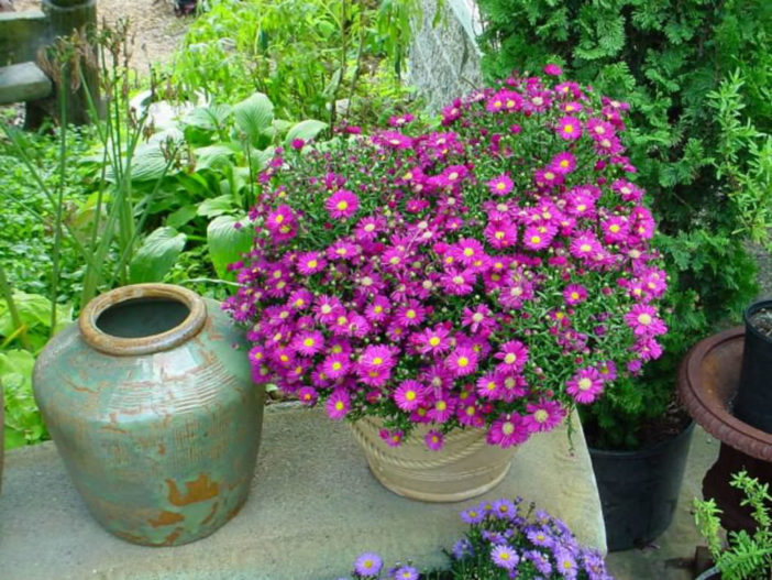 Asters in Containers