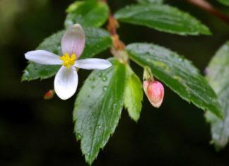 Begonia foliosa - Fern-leaved Begonia