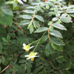 Begonia foliosa - Fern-leaved Begonia