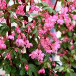 Begonia fuchsioides - Fuchsia Begonia