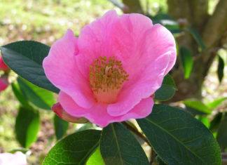 Camellia reticulata - Yunnan Camellia