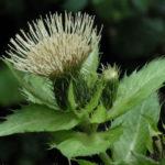Cirsium oleraceum - Cabbage Thistle