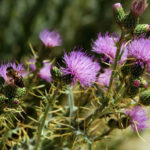 Cirsium pyrenaicum - Pyrenean Thistle