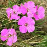 Dianthus alpinus - Alpine Pink
