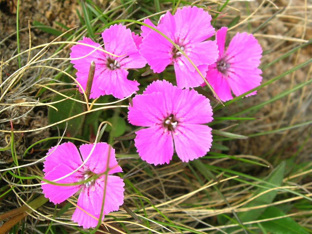 Dianthus Alpinus Alpine Pink World Of Flowering Plants