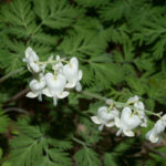 Dicentra canadensis - Squirrel Corn