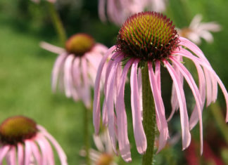 Echinacea pallida - Pale Purple Coneflower