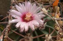 Echinocactus texensis - Horse Crippler