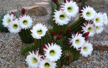 Echinopsis candicans - Argentine Giant