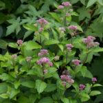 Eutrochium dubium - Coastal Plain Joe-Pye Weed