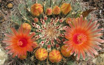 Ferocactus wislizeni - Arizona Barrel Cactus