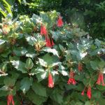 Fuchsia fulgens - Brilliant Fuchsia