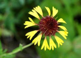 Gaillardia aestivalis – Lanceleaf Blanketflower