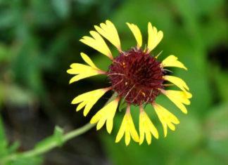 Gaillardia aestivalis - Lanceleaf Blanketflower