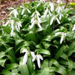 Galanthus woronowii - Green Snowdrop
