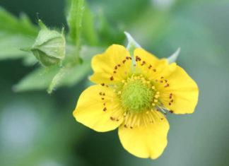 Geum aleppicum - Yellow Avens