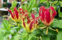 Gloriosa superba 'Rothschildiana' - Glory Lily