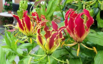 Gloriosa superba 'Rothschildiana' - Glory Lily