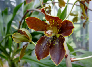 Grammatophyllum martae - Marta's Gramamatophyllum