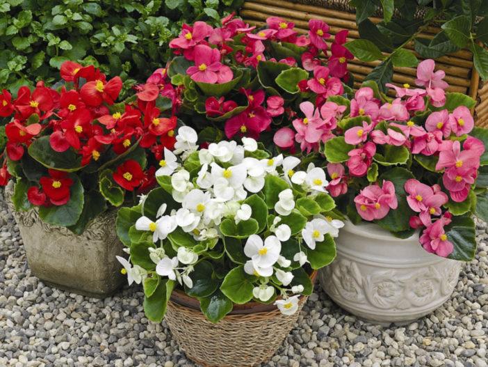 Grow Care Begonia