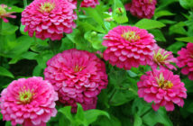 Growing Annual Flowers from Seed (Zinnia)