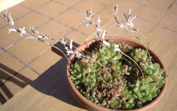 Haworthia cuspidata - Star Window Plant