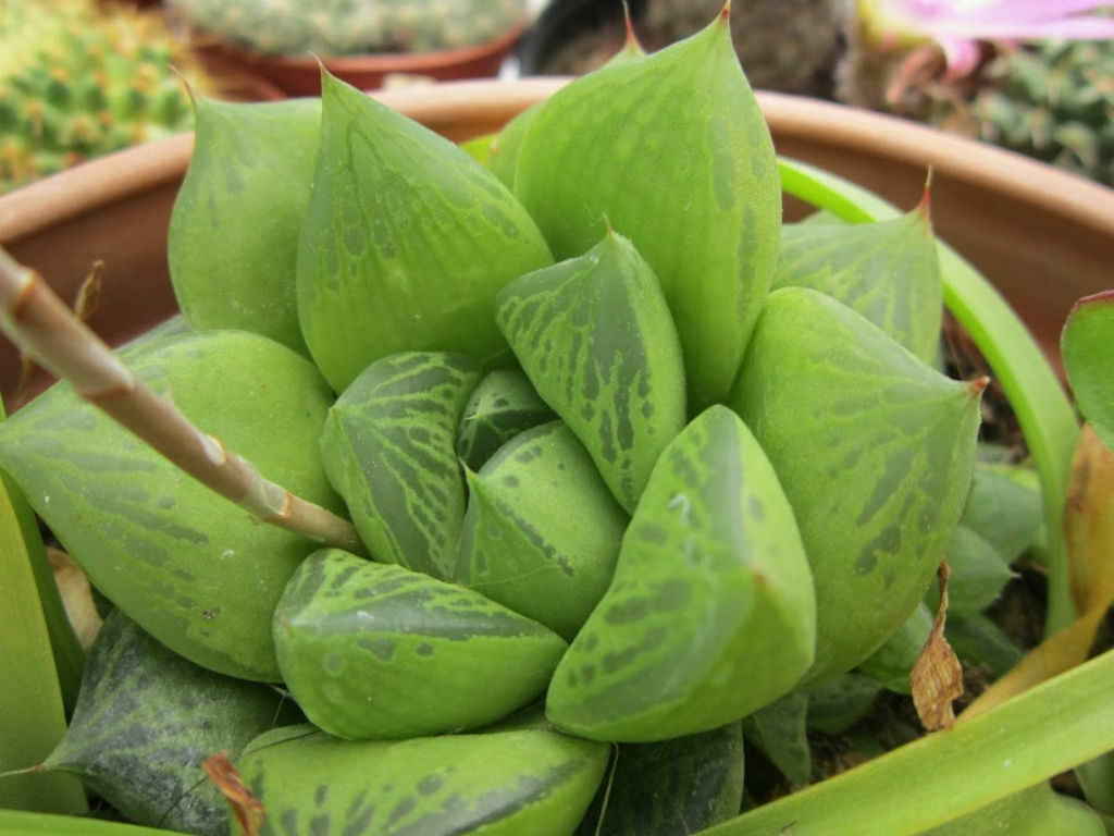 Garden Bush: Haworthia Cuspidata (Star Window Plant)