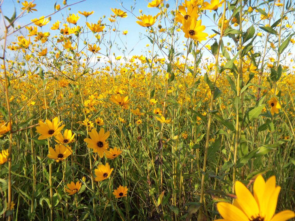 Helianthus Agrestis Southeastern Sunflower World Of