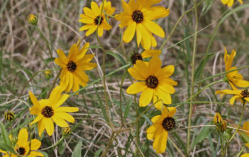 Helianthus agrestis - Southeastern Sunflower