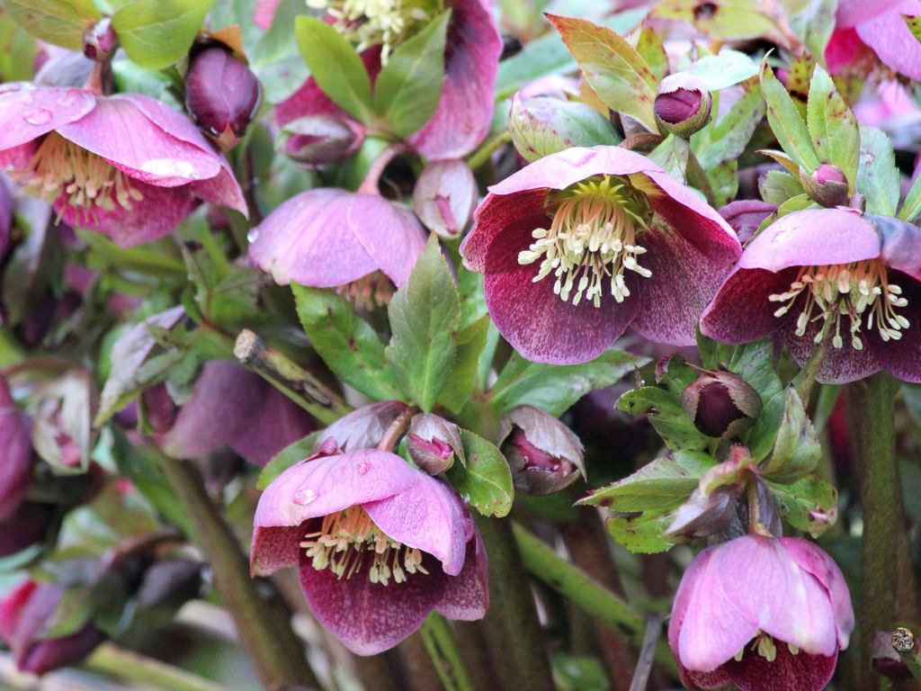 Helleborus orientalis lenten rose world of flowering for Helleborus orientalis