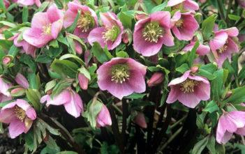 Helleborus orientalis - Lenten Rose