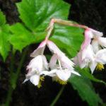 Hillebrandia sandwicensis - Aka 'Aka 'Awa