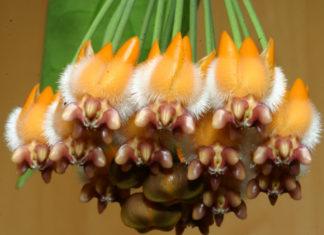 Hoya praetorii - Wax Plant