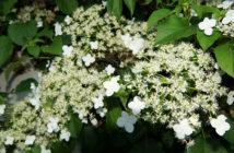 Hydrangea anomala subsp. petiolaris - Climbing Hydrangea