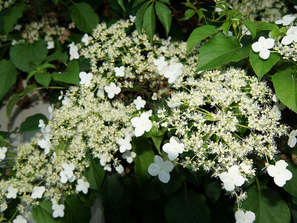 Hydrangea anomala subsp petiolaris climbing hydrangea - Hydrangea petiolaris ...
