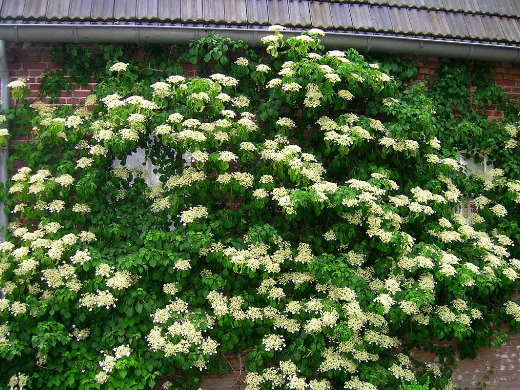 hydrangea anomala subsp petiolaris climbing hydrangea. Black Bedroom Furniture Sets. Home Design Ideas